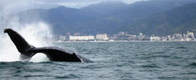 nature in puerto vallarta with humpback whales
