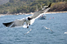 seagull following the Boana cruise past los Arcos nature reserve